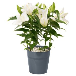 Lilly plant